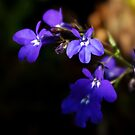 Sweet Lobelia by steppeland