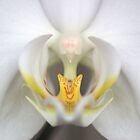 White orchid by Eva Bax