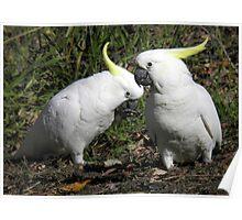 Sulphur Crested Cockatoos - Mount Lofty, South Australia Poster