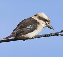 Kookaburra sits on the powerline??? by Ron Co