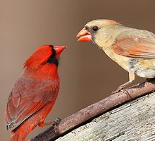 Northern Cardinals by Rob Lavoie