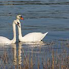 Swans of the Medway by Crin