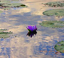Waterlily Ululah Evening  by bubblesron
