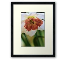 Salmon Trumpeted Narcissus Framed Print