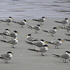 Terns, Not Plovers by paulmcardle