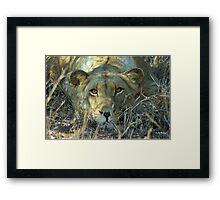 """Intense"" - lioness (Panthera leo) - Thornybush game reserve  - SA Framed Print"