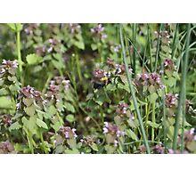 Bumble Bee Bumbling Along -11 Photographic Print