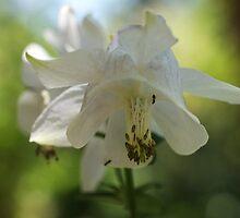 White Columbine by marens