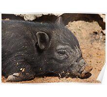 Black Pig 2794 Poster