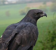 Falcon by IngridSonja
