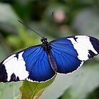 Open Wings Cydno Longwing - Heliconius cydno by Lepidoptera