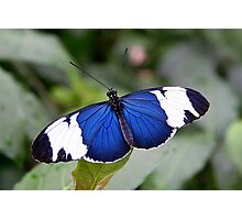 Open Wings Cydno Longwing - Heliconius cydno Photographic Print