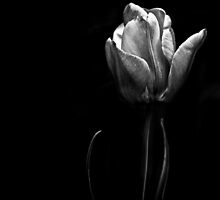 Tulip in shadow by alan shapiro