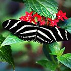 Zebra Longwing on Red by Linda  Makiej Photography