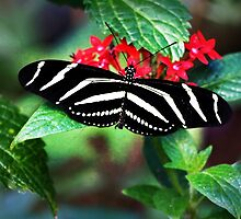 Zebra Longwing on Red by Linda  Makiej