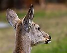Young White-tailed doe  by amontanaview