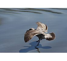 Seagull Landing on Doran Beach Photographic Print