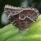Common Morpho Butterfly by Karen K Smith