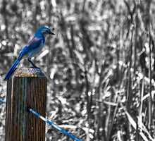 Scrub Jay II by Agro Films