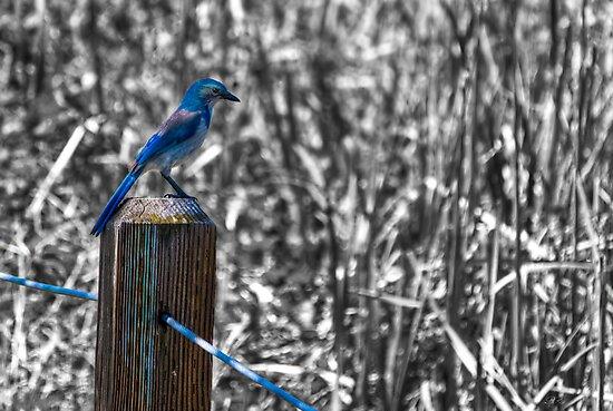 Scrub Jay II by Diego Re