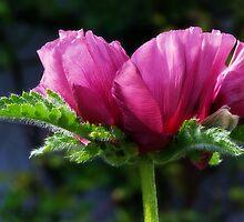 Pink Poppy by Susie Peek