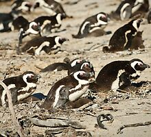 Boulders penguins by Andy-Kim Möller