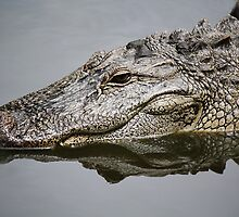 Alligator Reflection by Paulette1021