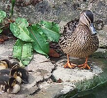 New  Mum With Her Ducklings by lynn carter