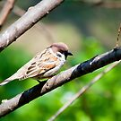 Sparrow on the branch by Dfilyagin