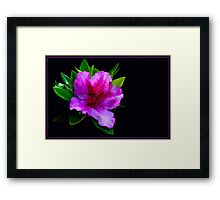 Azalea on black background Framed Print