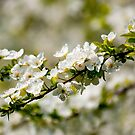 White flowers on the branch  by Dfilyagin