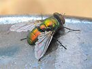 Common Green Bottle Fly by Ginny York