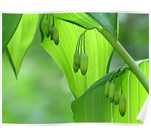 Solomon's Seal In Early May Poster