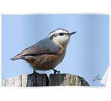 female Red-breasted Nuthatch Poster