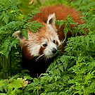 Red Panda in the Undergrowth by JMChown