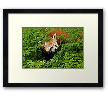 Red Panda in the Undergrowth Framed Print