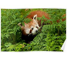 Red Panda in the Undergrowth Poster