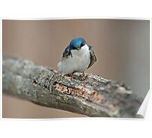 Tree Swallow (Tachycineta bicolor) Poster
