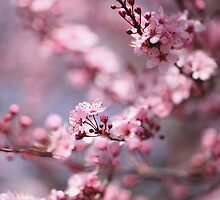 Dreamy Plum Blossoms by Janine Graf