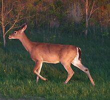 Shenandoah Deer by Eileen Brymer