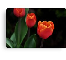 a perfect red tulip Canvas Print