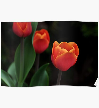 a perfect red tulip Poster