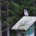 Bluebird by Sara Bawtinheimer