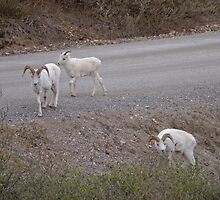 Dall Sheep, Denali National Park, Alaska, USA by Margaret  Hyde