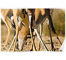 Fighting springboks Poster
