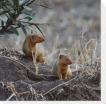 Dwarf Mongoose, Serengeti, Tanzania  by Carole-Anne