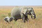 African Elephants, Serengeti, Tanzania.  by Carole-Anne