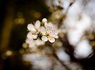 Blackthorn blossom by David Isaacson