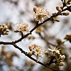 Blackthorn blossom by David Isaacson