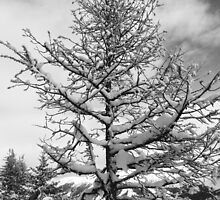 Snowy Tree by Ryan Davison Crisp